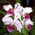 orquidealaelia.jpg